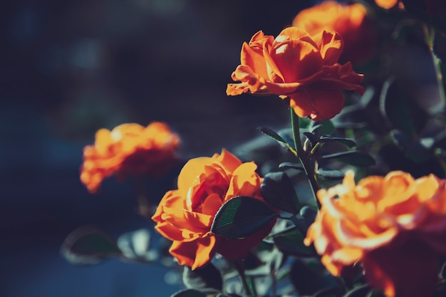 Sfondo floreale lunatico con rose rosse e arancioni