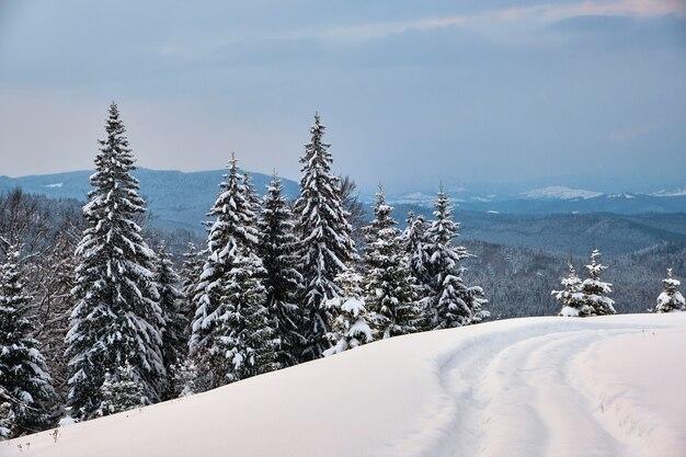 Paesaggio lunatico con sentieri e alberi di pino ricoperti di neve fresca caduta nella foresta di montagna invernale in una fredda sera cupa.