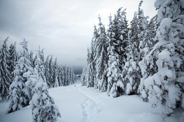 Moody paesaggio invernale della foresta di abete rosso rannicchiata con neve bianca e profonda in montagne ghiacciate fredde.
