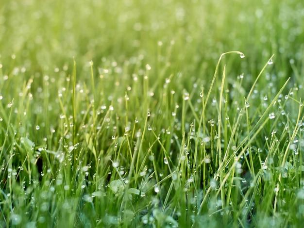Rugiada del mattino sull'erba fresca