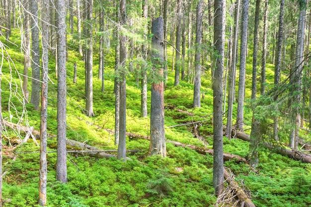 Mattina nella foresta verde primaverile con alberi di pino