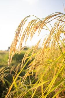 Luce del mattino sull'orecchio del riso luce del mattino sull'orecchio del riso del campo di riso