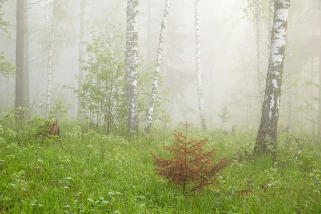 Mattina nella foresta nebbiosa
