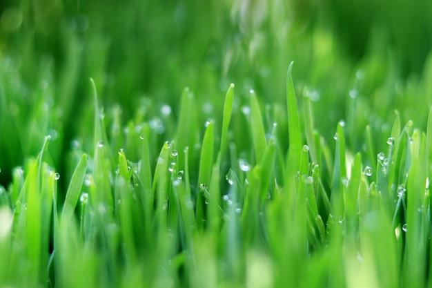 L'erba del grano di mattina con acqua cade sulla cima