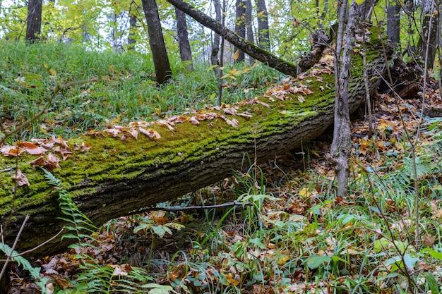 Muschio sul tronco d'albero. autunno nel bosco con foglie gialle sul terreno e alberi abbattuti. corteccia di albero con muschio verde nella foresta autunnale. inizio autunno