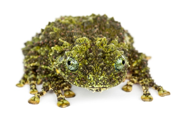Mossy frog, theloderma corticale, noto anche come vietnamita mossy frog, o tonkin bug-eyed frog, ritratto contro uno spazio bianco