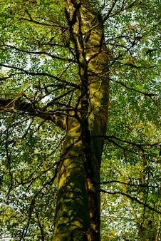 Vecchio tronco d'albero muschioso sotto la corona verde