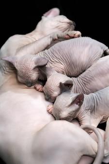 Madre canadese sphynx gatto di razza sdraiata e allattare tre gattini famiglia felina sfondo nero