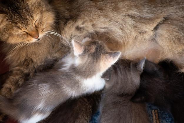 Mamma gatta e piccoli gattini bevono latte dal suo petto. allattando piccoli bellissimi gattini
