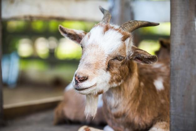 Madre capra che riposa fuori in una fattoria. capra con ritratto di corna.