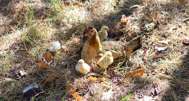 Mamma chioccia con le sue galline