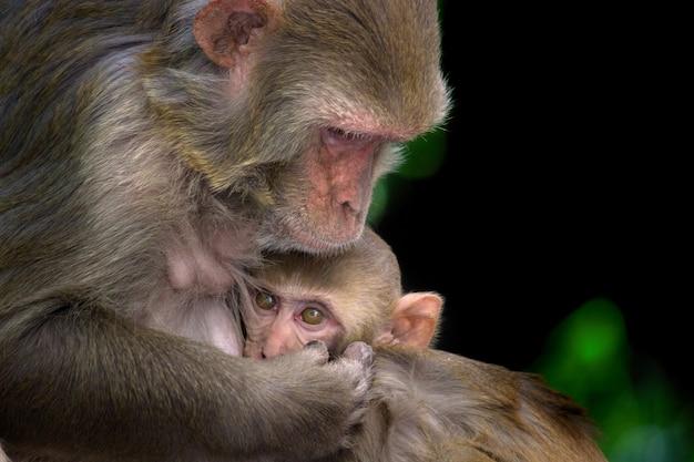 Scimmia madre con il suo bambino