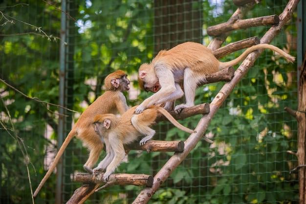 Scimmia e bambino di patas della madre nello zoo