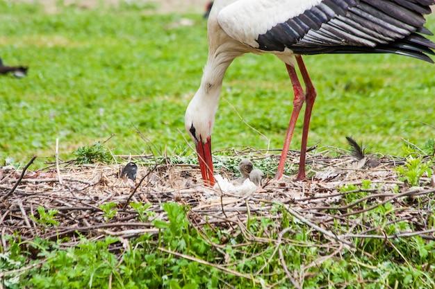 Una cicogna madre che nutre i suoi giovani alberelli, la madre dà il cibo che lei stessa ha digerito in anticipo
