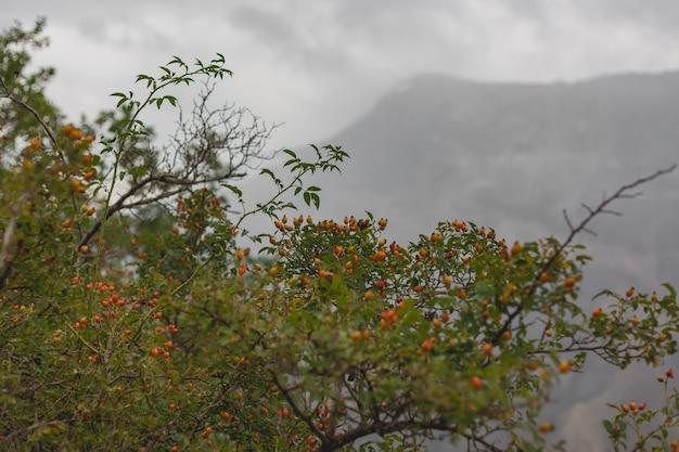 Bacche di montagna sul cespuglio