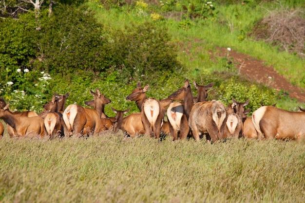 Mountain bull elk nella foresta di autunno, colorado, usa