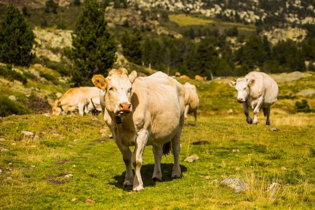 Mucca di montagna a la cerdanya, barcellona, spagna