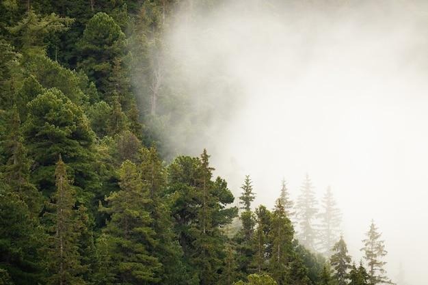 Foresta di montagna con conifere verdi parzialmente nascoste in una fitta nebbia bianca