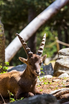 Capre di montagna (capra pyrenaica) in cerdagne, pirenei, francia.