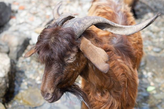 Capra di montagna. ritratto del primo piano di una capra di montagna marrone. capra di montagna con corna a cavatappi