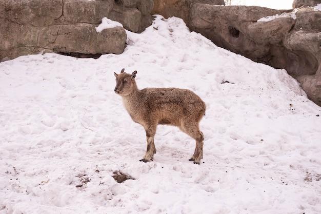 La capra di montagna si trova su una roccia e guarda in lontananza sullo sfondo di una montagna rocciosa. grandi e lunghe belle corna.