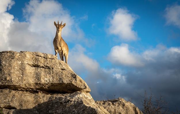 Capra di montagna guardando la telecamera in cima a una roccia