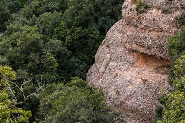 Capra di montagna in montagna di montserrat, barcellona, spagna.