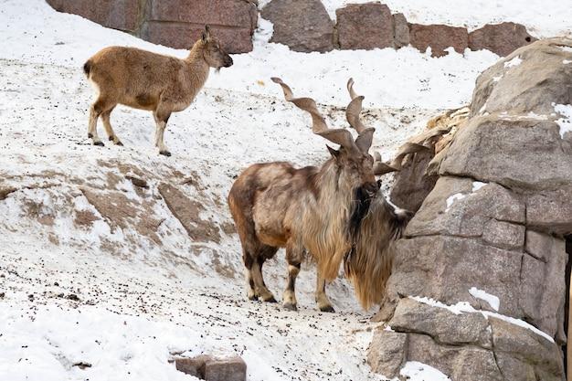Capra di montagna si erge su una roccia e guarda in lontananza su uno sfondo di montagna rocciosa. grandi e lunghe belle corna.