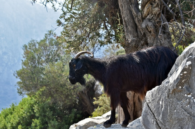 La capra di montagna sta sulle rocce