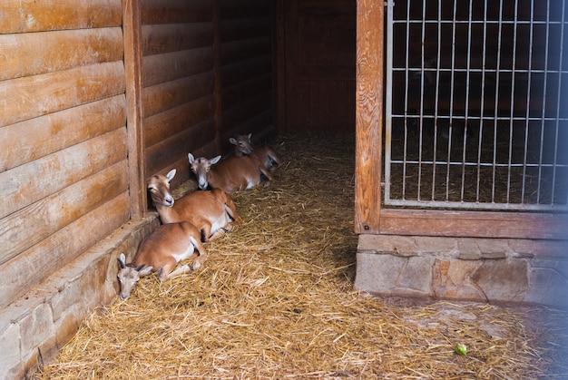 Ritratto di capre di montagna. bel giorno d'estate nel giardino zoologico