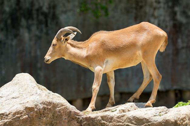 Capre di montagna in piedi su una roccia. animali selvaggi.