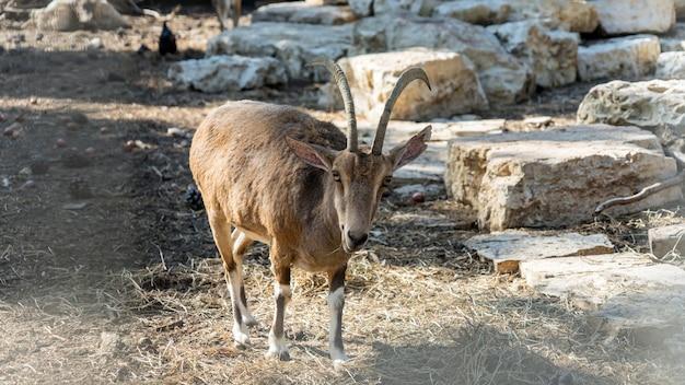 Capre di montagna nel parco yarkon. tel aviv, israele.