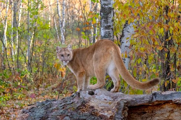 Leone di montagna nella foresta di betulle in autunno