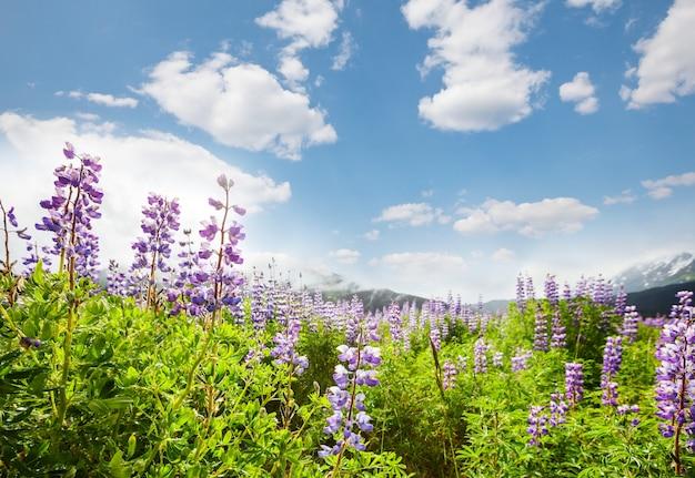 Prato di montagna in una giornata di sole. paesaggio estivo naturale.