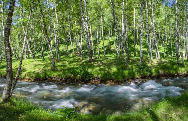 Il fiume di montagna scorre nella foresta di betulle, paesaggio verde estivo