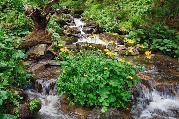 Fiume di montagna nella foresta estiva con cespuglio di fiori gialli (carpazi, ucraina)