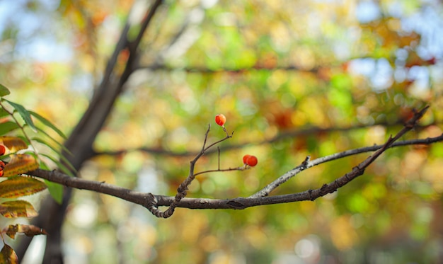 Bacche rosse del ramo della cenere della sorba di montagna su fondo verde vago. scena di natura morta del raccolto autunnale. fotografia di sfondo con messa a fuoco morbida. copia spazio.