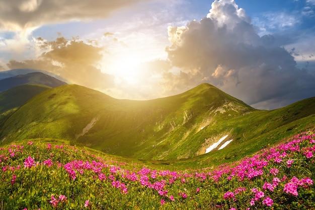 Panorama di montagna primaverile con fioritura di fiori di ruta di rododendro e macchie di neve sotto il cielo al tramonto di sera.