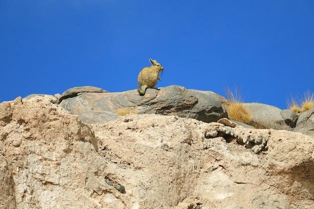 Viscacha di montagna sulla collina rocciosa contro il cielo blu del deserto arido dell'altopiano andino in potosi bolivia