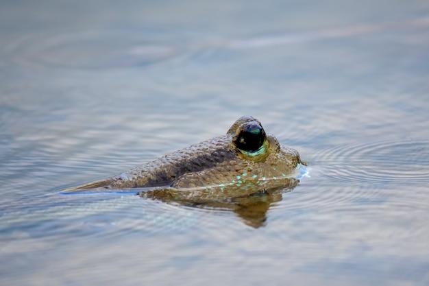Pesce saltafango nel mare zona di mangrovie