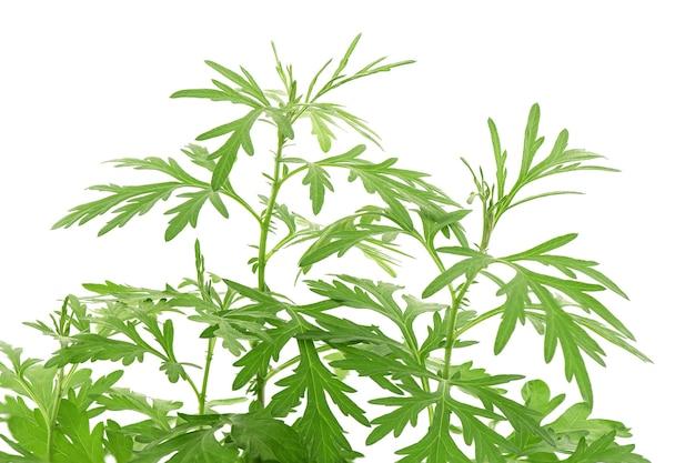 Artemisia o artemisia annua ramo foglie verdi isolati su sfondo bianco.