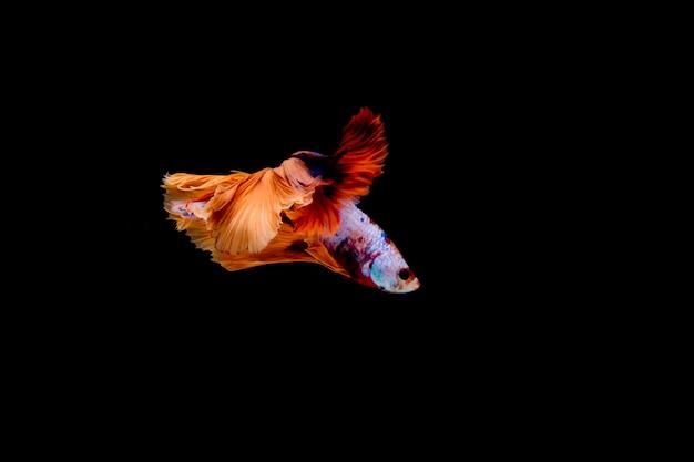 Pesce combattente multicolore