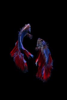 Pesce combattente beta siamese multicolore su sfondo nero