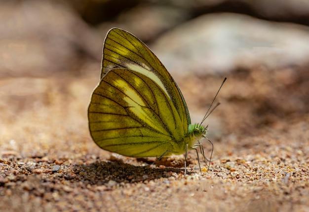La multi farfalla colorata sta succhiando le sostanze nutrienti dal terreno il giorno soleggiato