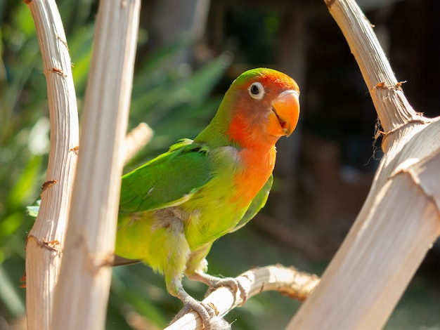 Parrocchetto multicolore sul ramo di un albero