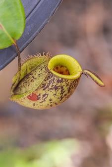 Multi tipo di pianta nepenthes
