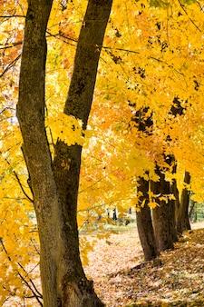 Fogliame autunnale luminoso multicolore di un albero di acero illuminato dalla luce del sole giorno, caratteristiche della natura nella stagione autunnale, giorno