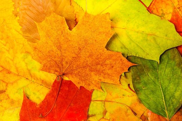 Foglie autunnali secche multicolori. sfondo per designer