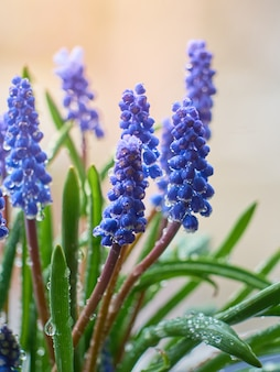 Muscari armeniacum pianta con fiori blu.