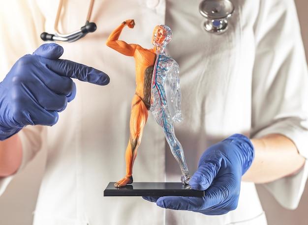 Sistema muscolare del corpo umano su d modello uomini forti sani muscoli muscolatura anotomica senza pelle